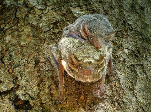 Mauritian Tomb Bat (Taphozus mauritianus), Ankarafantsika, Madagascar