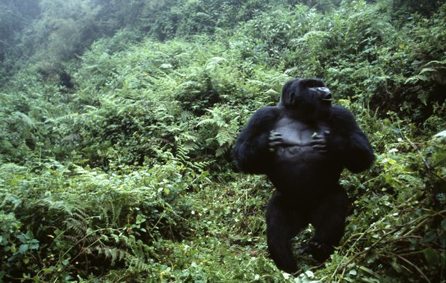 Cyril Ruoso // Gorille de montagne au Rwanda