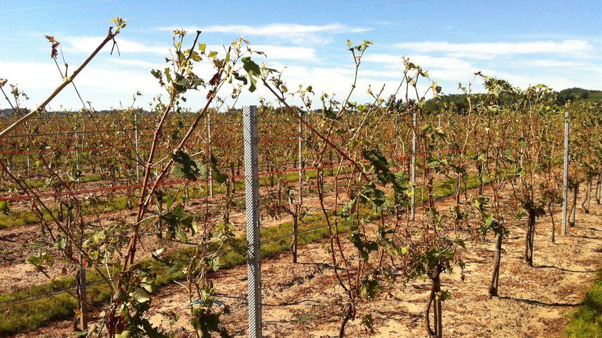 Vignes de Saint-Magne-de-Bataille