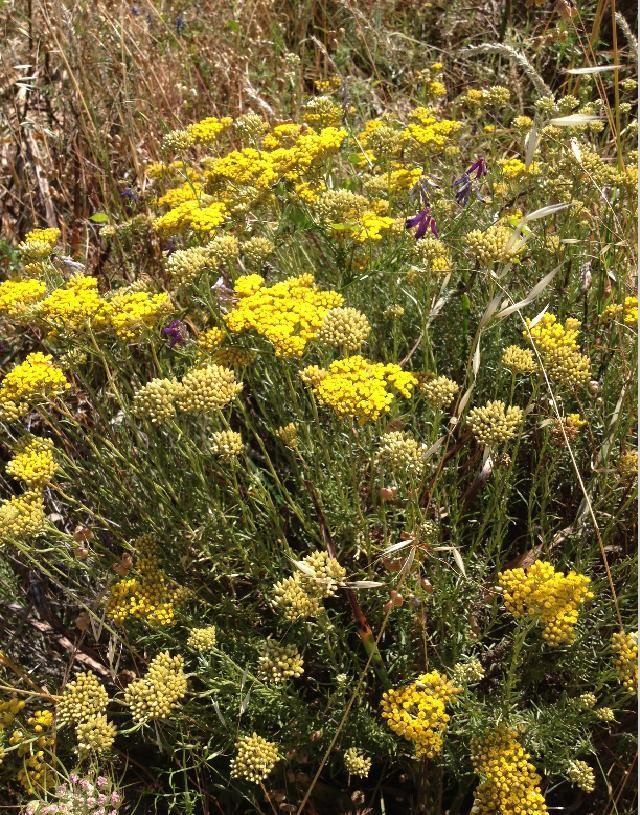 L'Immortelle d'Italie - Helichrysum italicum à Ajaccio juin 2013