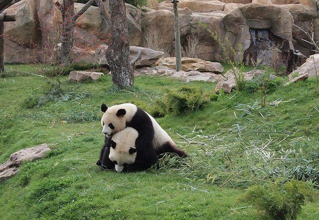 Un panda du zoo de Beauval