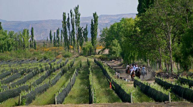 Vignes de San Rafael, Mendoza, Argentine, 2008