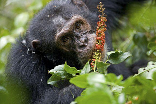 automédication chimpanzé