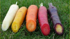 carottes bio des champs verts