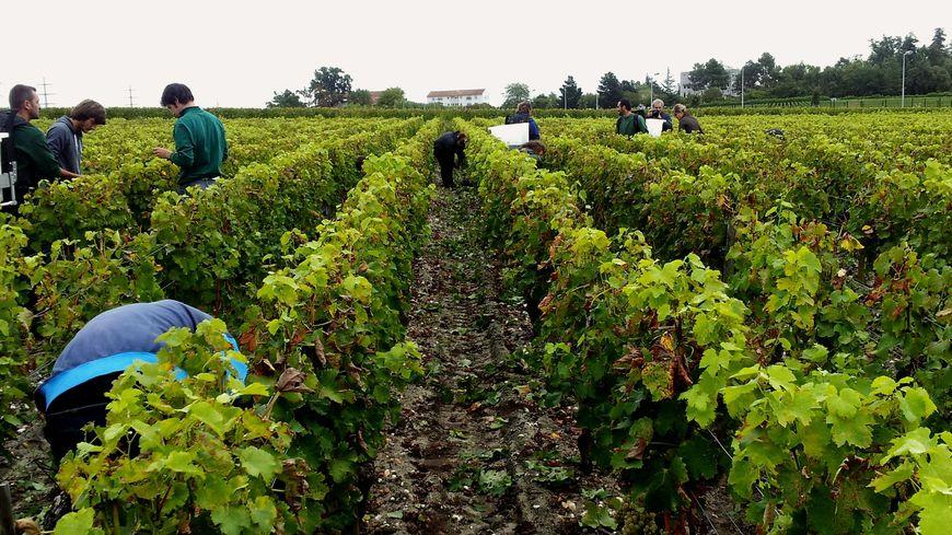 Vignes de l'appellation Pessac-Léognan