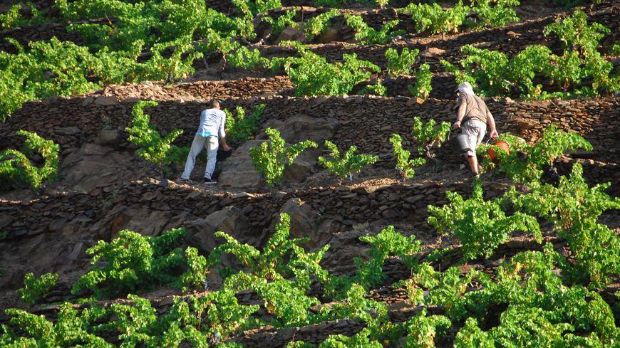 Vendangeurs sur la Côte Vermeille
