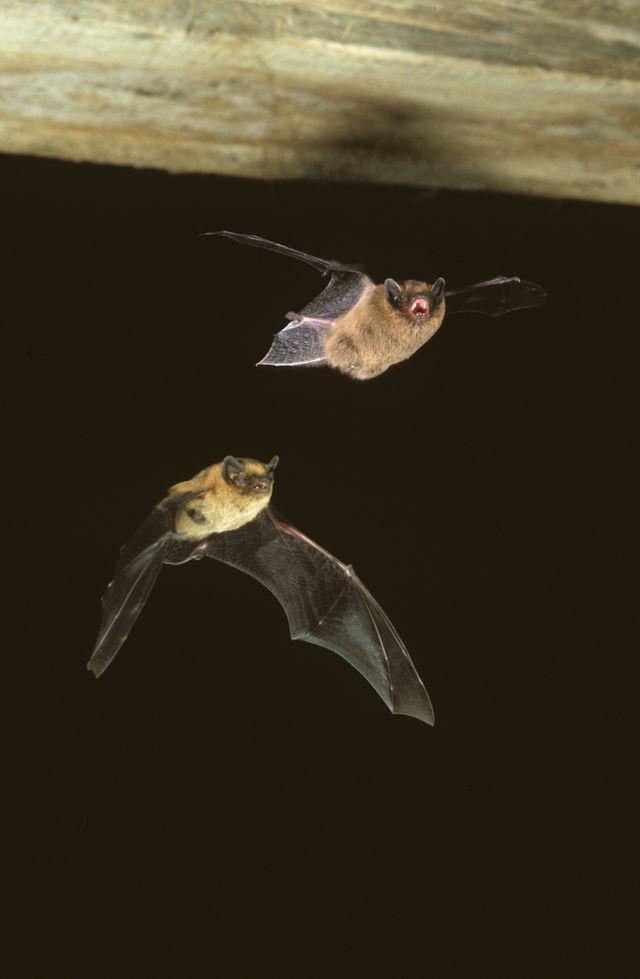 La pipistrelle