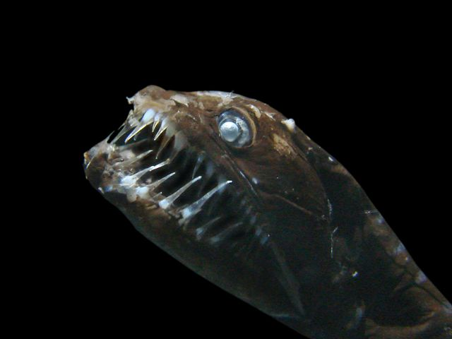 Tête de poisson dragon présenté dans l'exposition Abysses