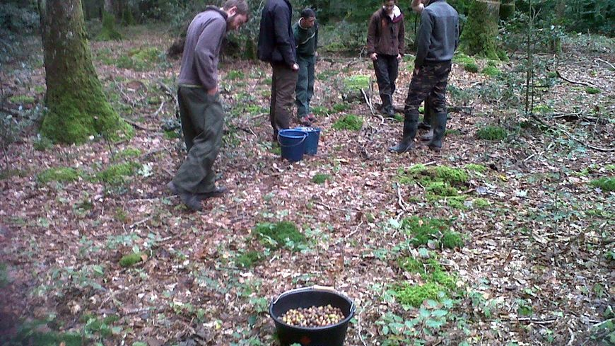 """Une cinquantaine de """"glandeurs"""" récoltent en forêt de Bercé"""