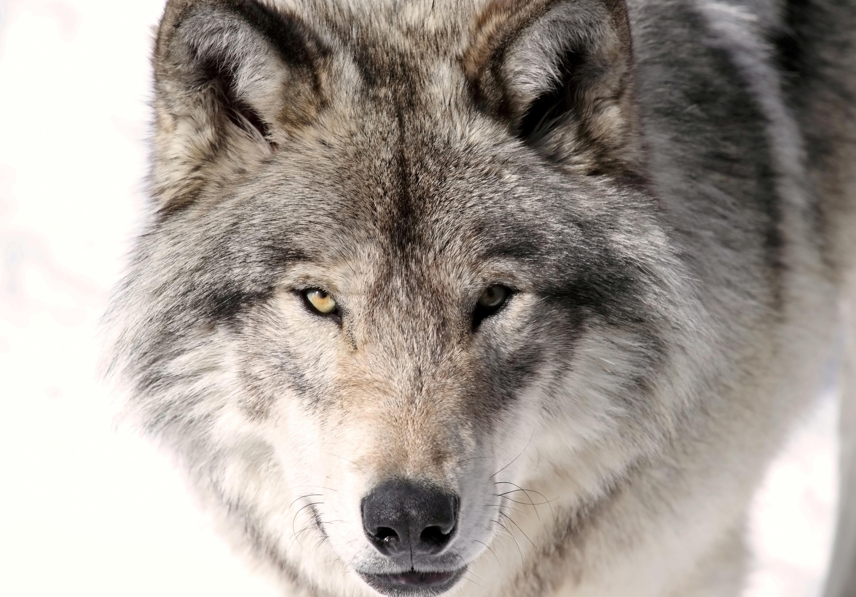 Sondage Les Fran 231 Ais Aiment Le Loup
