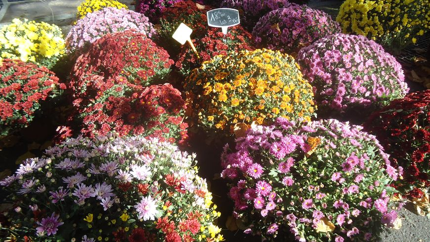 Les chrysanthèmes de la Toussaint