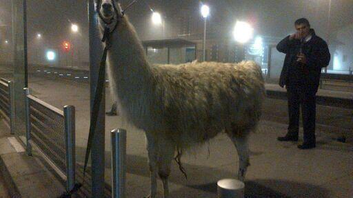 Cinq jeunes ont sorti ce lama de sa cage de cirque, pour le balader dans les rues de Bordeaux.