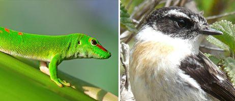 le Gecko vert & le Tec Tec  - des animaux dits endémiques