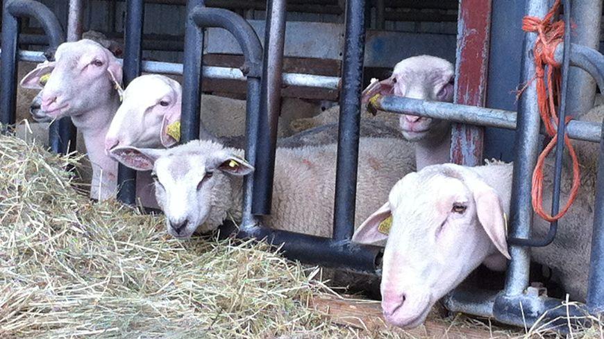 Les moutons de l'Aid El Kebir à la ferme Bertholet