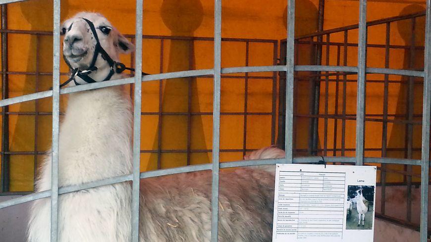 Serge, le lama, est retourné dans sa cage depuis sa promenade nocturne de jeudi matin.