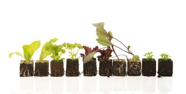 plants des légumes