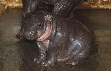 Le bébé hippopotame pesait 5,1 kg à la naissance.