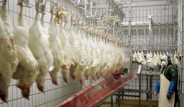 Une chaîne d'abatage de poulets