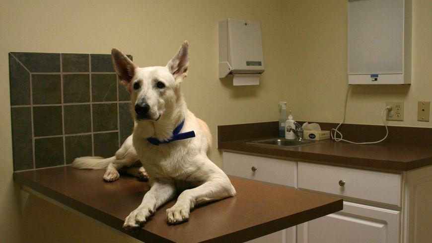 Un chien, un berger blanc dans une clinique vétérinaire de Caroline du Nord