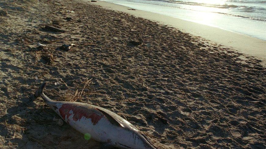 Un dauphin échoué près de la dune du Pilat (archives)