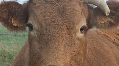 La vache Limousine