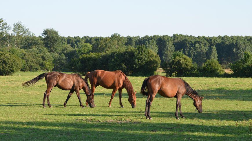 Trafic de viande de cheval et de viande en gros : enquête dans 11 départements français