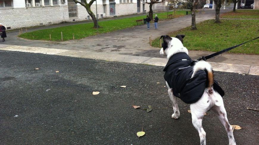 Snoopy le Jack Russell est prêt à aller dans les futurs caniparcs