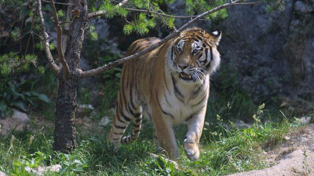 Tigre zoo de la Citadelle