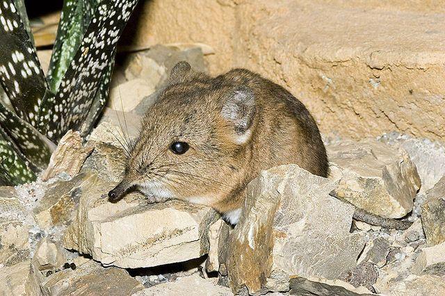 le rat à trompe