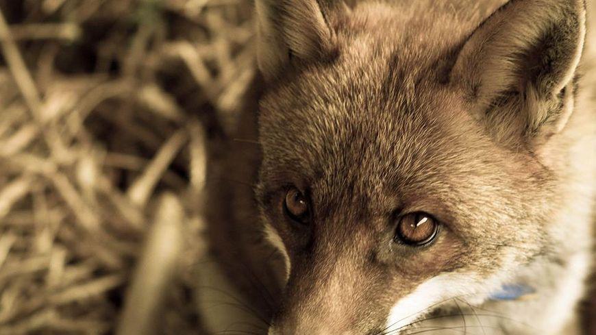 Zouzou le renard à Bergerac