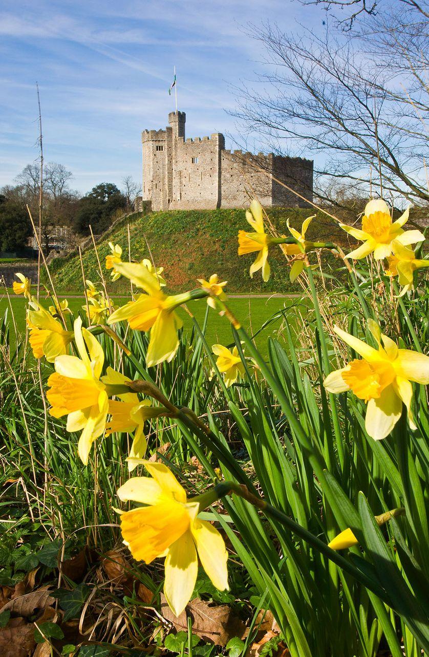 Cardiff, vue du Château de garde normand et ses jonquilles