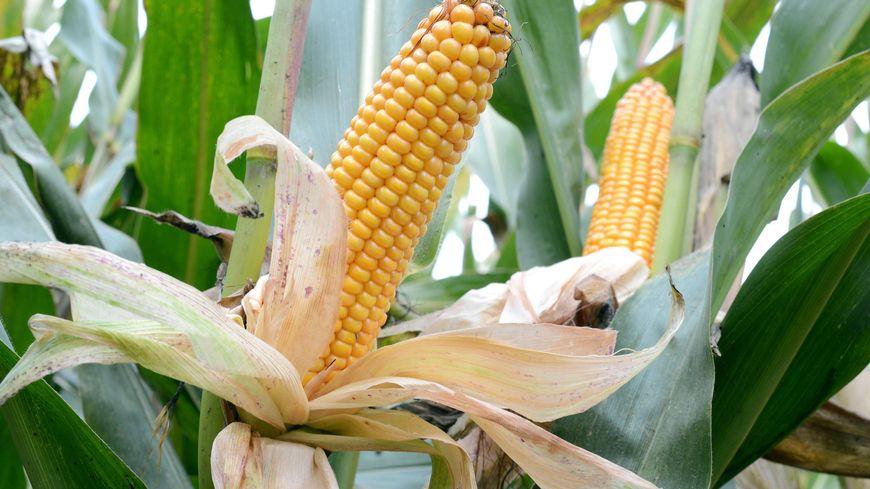 Le seul maïs OGM cultivé en Europe est le MON810 de Monsanto