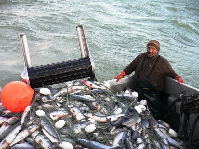 Un filet de pêche rempli de saumons en Alaska.