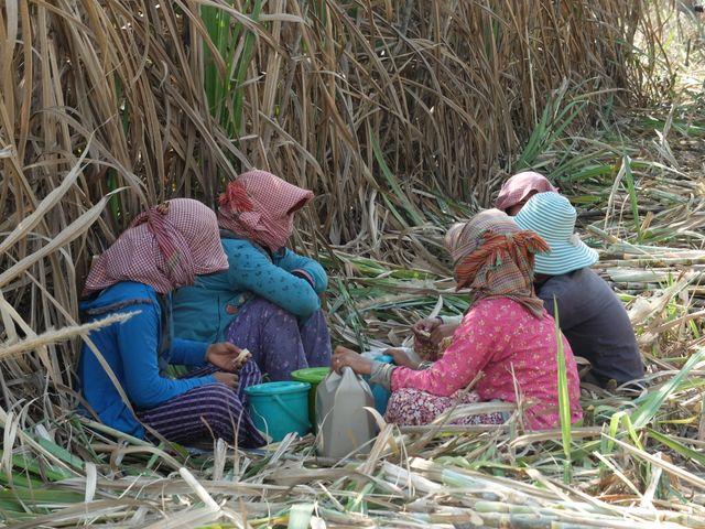 3.000 ouvriers agricoles travaillent dans la plantation de cannes à sucre de la Phnom Penh Sugar Company