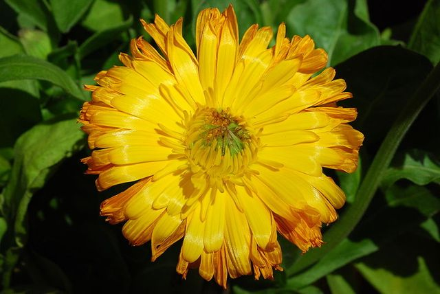 fleur de souci
