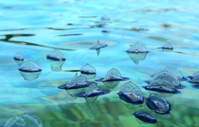 Velelles, plancton de surface