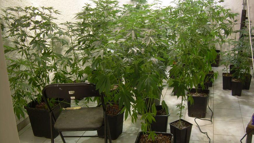 Les plants de cannabis saisis en Ardèche le 9/4/14