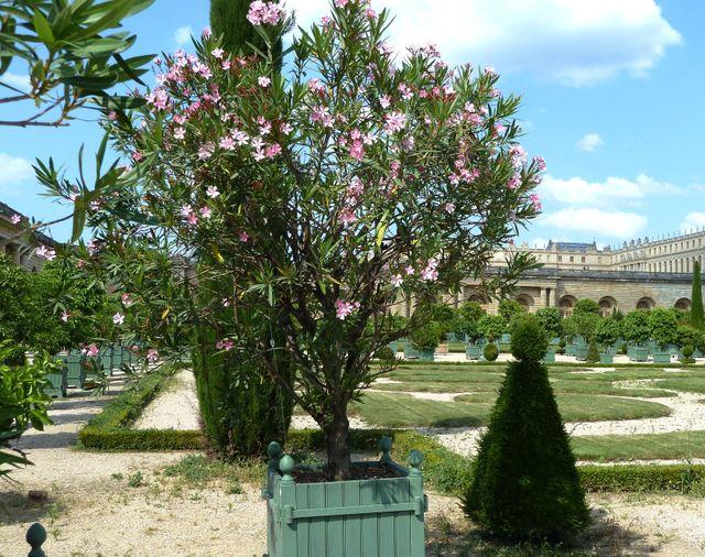 Laurier rose dans l'Orangerie du Château de Versailles