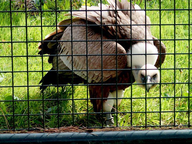 Vautour du Zoo de Vincennes