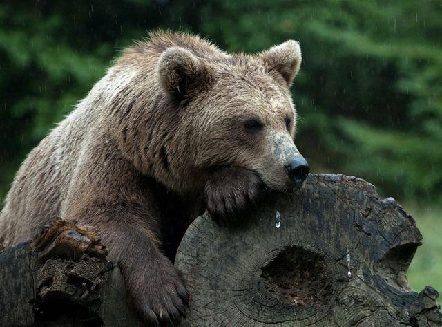 ours Pyrénéen
