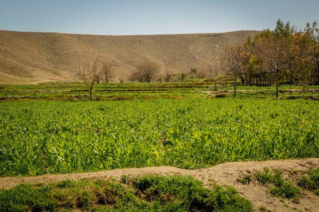 Champ de pavot (Est de l'Afghanistan)