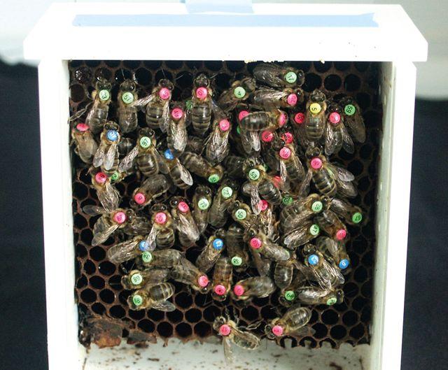 Compteur d'abeilles