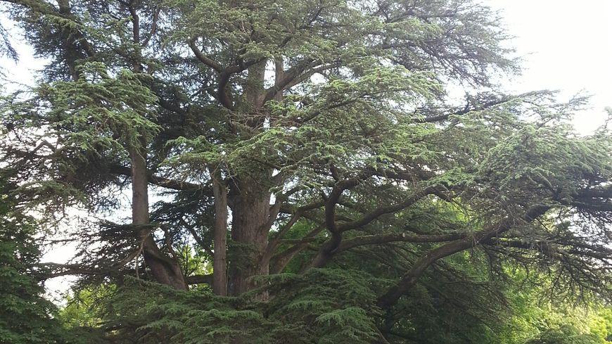 Un c dre p rigourdin bient t lu arbre de l 39 ann e - Cedre bleu du liban ...