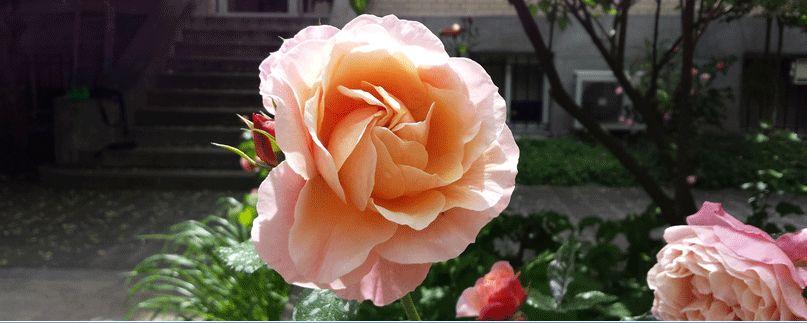 La rose de Marie Curie