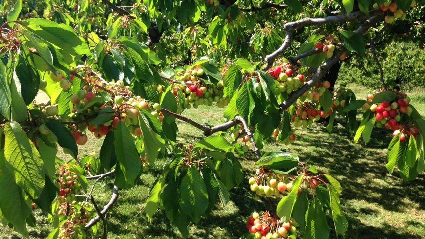 Les cerises sont belles ce début mai en sud Ardèche mais pas toutes à maturité !