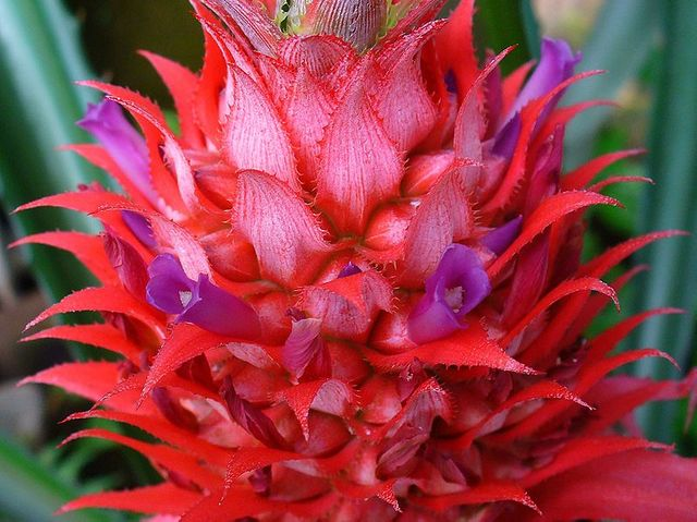 Fleur d'ananas