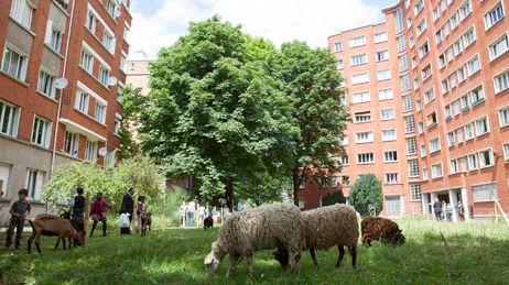 mouton dans le 20 ème A