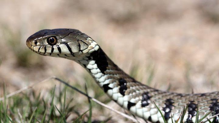 Les Serpents Sont Ils Plus Nombreux En Drome Et En Ardeche
