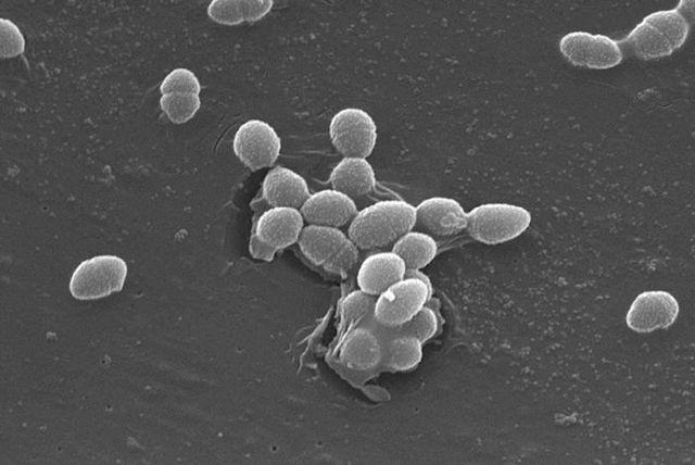 """""""Entérocoques"""", bactéries du tube digestif"""
