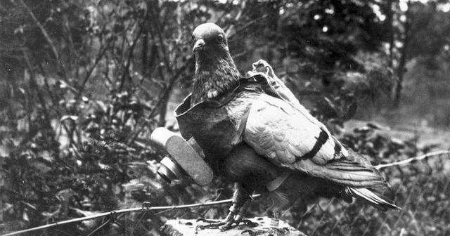 Pigeon voyageyr